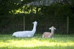 Alpacas on the farm