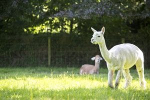 Alpacas at Tredethick