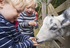 Goats at Tredethick Farm