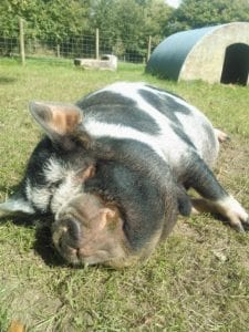 Plum the pig sunbathing