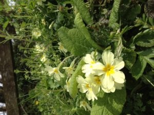 Primroses at Tredethick